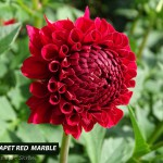 Hapet Red Marble