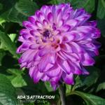Ada´s Attraction 1