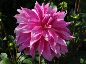 Babylon Rose