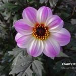 Candy Eyes
