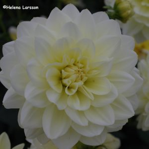 Cream Beauty