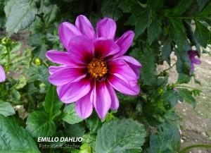 Emillo Dahlio