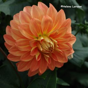 Hapet Orange Dimension