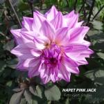 Hapet Pink Jack