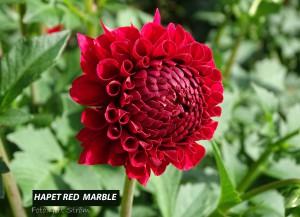 Hapet Red Marble