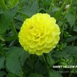 Hapet yellow Point