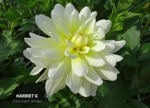 Harriet G