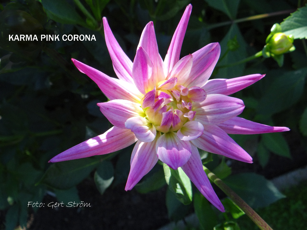Karma Pink Corona
