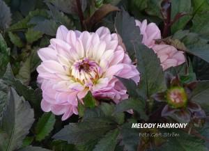 Melody Harmony