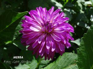 Merra