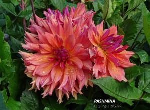 Pashhmina
