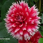 Red White Fubuki