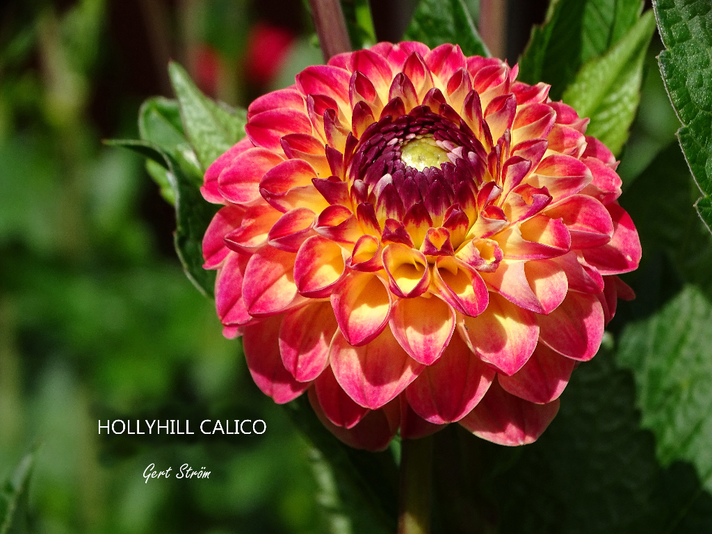 Hollyhill Calico
